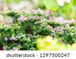 false heather or elfin herb... | Shutterstock . vector #1297500247