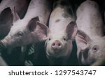 close up of young piglet's... | Shutterstock . vector #1297543747