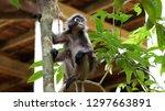 kedah  langkawi  malaysia   apr ...   Shutterstock . vector #1297663891