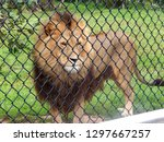 male african lion with large... | Shutterstock . vector #1297667257