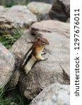 curious chipmunk hiding between ... | Shutterstock . vector #1297676011