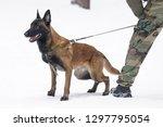 young belgian shepherd dog...   Shutterstock . vector #1297795054