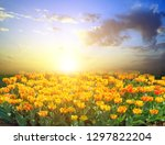 colorful field of tulip. spring ... | Shutterstock . vector #1297822204