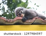 funny cute monkeys spectacled... | Shutterstock . vector #1297984597