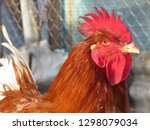 Red Rooster Portrait. Colorful...