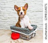 funny red basenji puppy dog in... | Shutterstock . vector #1298114071