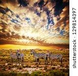 zebras herd on savanna at... | Shutterstock . vector #129814397
