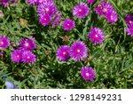 Closeup Of A Succulent Purple...