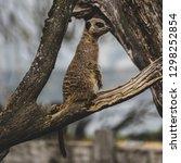 a meerkat watcher | Shutterstock . vector #1298252854