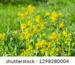 bittercress or herb barbara ... | Shutterstock . vector #1298280004