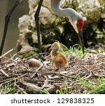 Sandhill Crane With Baby