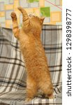 red cat plays on its hind legs | Shutterstock . vector #1298398777