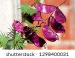 hyacinth bean or lablab...   Shutterstock . vector #1298400031