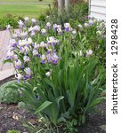 Clump Of Blooming Iris Along...