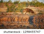 brown hyena  parahyaena brunnea ...   Shutterstock . vector #1298455747