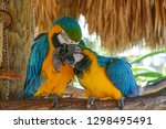 Pair Of Macaws Being Playfully...