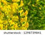yellow flowers on a bush branch.... | Shutterstock . vector #1298739841