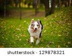 young merle australian shepherd ... | Shutterstock . vector #129878321