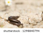 bedriaga's skink or three toed... | Shutterstock . vector #1298840794
