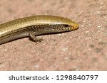 bedriaga's skink or three toed... | Shutterstock . vector #1298840797