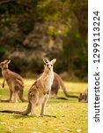 a kangaroo at australian... | Shutterstock . vector #1299113224