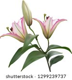 illustration with lily flowers... | Shutterstock .eps vector #1299239737