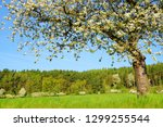 blooming cherry tree on meadow... | Shutterstock . vector #1299255544