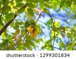 averrhoa carambola  carambola... | Shutterstock . vector #1299301834