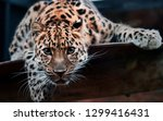 Jaguar Wild Cat Resting On A...