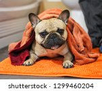 french bulldog wrapped in towel ...   Shutterstock . vector #1299460204