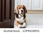 funny cute dog beagle sits on... | Shutterstock . vector #1299610051