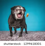 Old Senior Pug With Her Mouth...