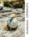 close up of gannet bird nesting ...   Shutterstock . vector #1299641371