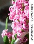hyacinth pink surprise  dutch...   Shutterstock . vector #1299645091