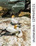 mother gannet bird with her...   Shutterstock . vector #1299645121