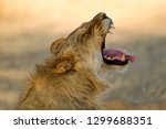 African Lions  Panthera Leo  ...