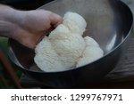 lion's mane mushroom grown on a ... | Shutterstock . vector #1299767971