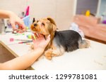 Stock photo grooming animals grooming drying and styling dogs combing wool grooming master cuts and shaves 1299781081