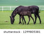 black kladrubian horse  mare... | Shutterstock . vector #1299805381