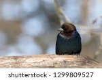 male brown headed cowbird... | Shutterstock . vector #1299809527