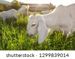 white goat kid grazing on... | Shutterstock . vector #1299839014