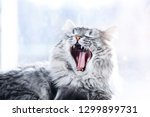 Stock photo lazy funny lovely fluffy cat lying near the window gray tabby cute kitten with beautiful eyes 1299899731