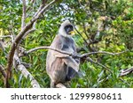 purple faced langur. yala... | Shutterstock . vector #1299980611