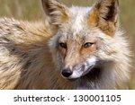 wild red fox san juan islands   ... | Shutterstock . vector #130001105