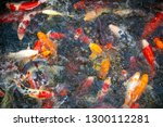 colorful fancy carp fish  koi... | Shutterstock . vector #1300112281