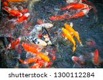colorful fancy carp fish  koi... | Shutterstock . vector #1300112284