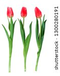 red tulip isolated on white... | Shutterstock . vector #1300280191