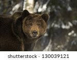 Portrait Of Wild Russian Bear