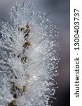 close up of white banksia... | Shutterstock . vector #1300403737