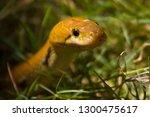 Indian Trinket Snake In Grass